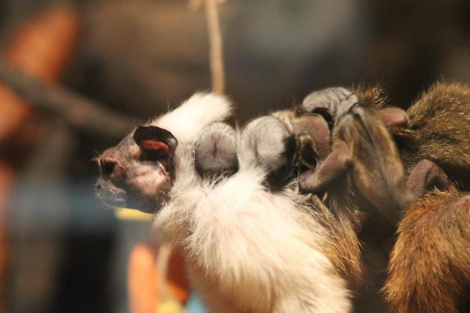 ​Chattanooga Zoo Welcomes Pied Tamarin Triplets (Cuteness Alert)!