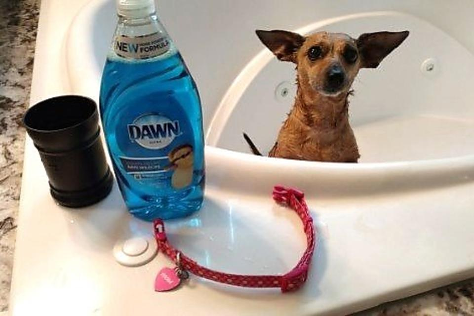 How to Get Rid of Fleas on Pets: Another Surprising Way Dawn Dishwashing Soap Helps Animals