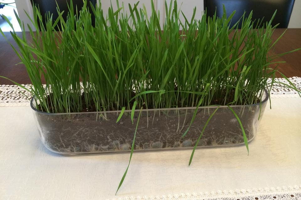 Easy Easter Decorating: How to Grow a Gorgeous Centerpiece of Wheat Grass!
