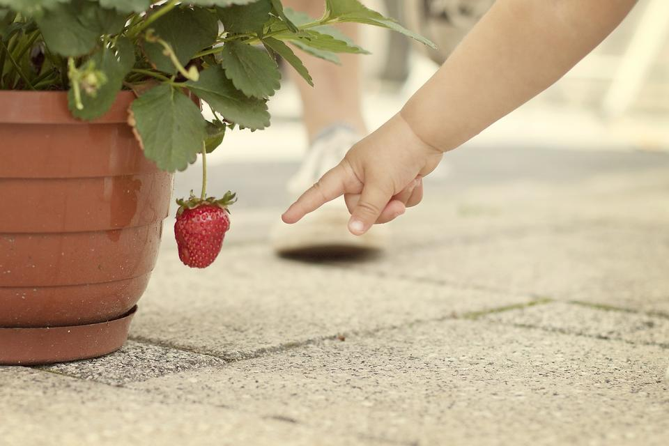 Love Strawberries? Get Your Kids to Not Only Eat 'Em, But Help Grow 'Em!