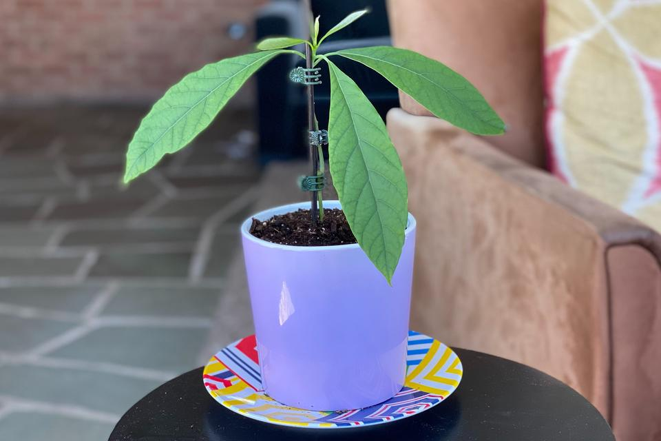 Project Avocado: How to Grow an Avocado Plant From a Seed in 10 Easy Steps (Plus Growing Tips)