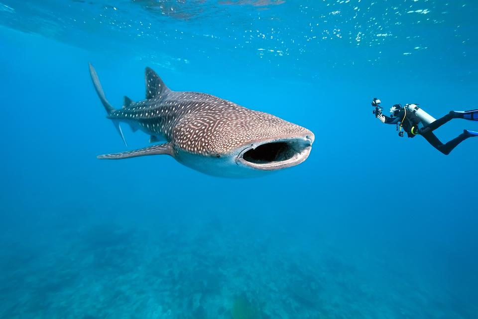 Swimming With Whale Sharks: My Bucket List Dream Came True in Utila, Honduras