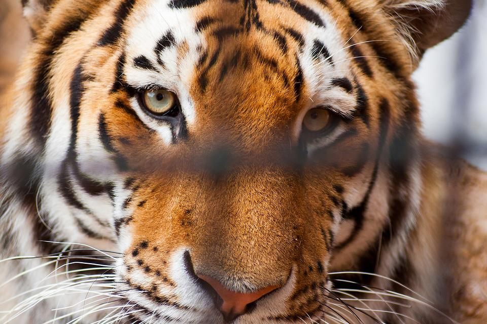 """Big Cat Public Safety Act: Reps. Mike Quigley & Brian Fitzpatrick Applauded for Reintroduction of Bill Featured in Netflix Hit Series """"Tiger King"""""""