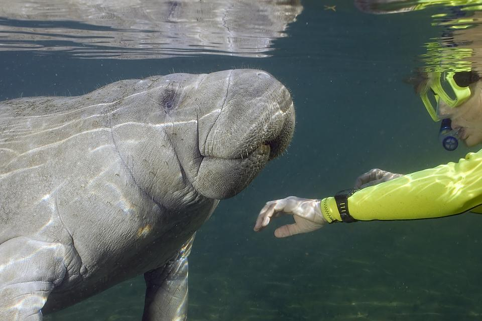 Swimming With Manatees: My Morning With the Sea Cows in Crystal River, Florida