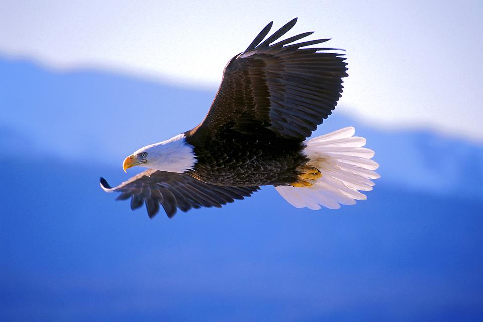 Bald Eagle Appreciation: The Migration of the Majestic Bald Eagles in Iowa & Illinois Along the Mississippi River