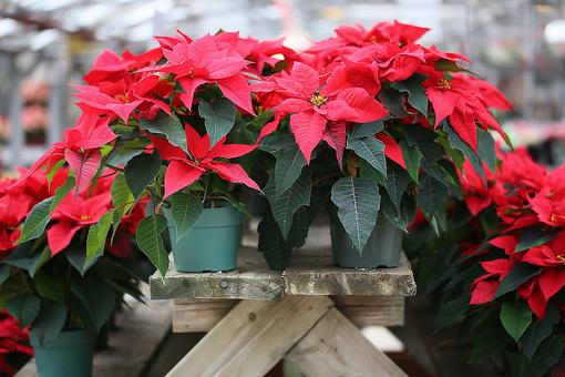 5 Traditional Holiday Plants That Are Dangerous to Kids & Pets!