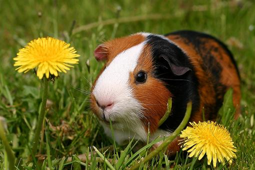 A Final Letter to Our Furry Friend, Sir PiPig: A Tiny Love Lost & a Life Reminder – Don't Waste Time