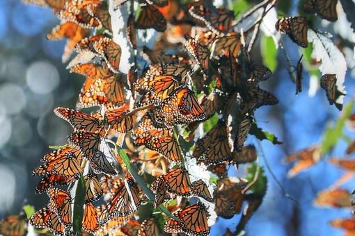 California Butterfly Migration: Record Number of Monarch Butterflies Start Migration Early in Morro Bay
