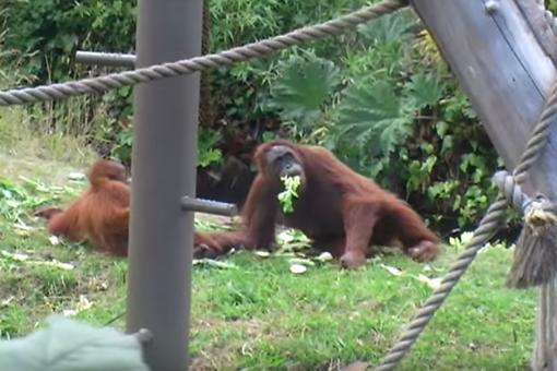 Ever Felt Like an Orangutan Chasing After Your Kid? Watch This Hilarious Video!