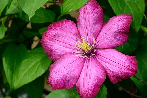 Flower Power: How a Single Clematis Makes the World Brighter