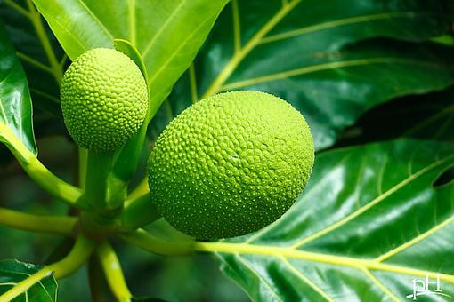 Breadfruit: It's a Tropical Superfood Packing Tons of Health Benefits!