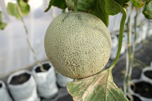How to Grow Cantaloupe From Seed: Why You Should Save Those Melon Seeds for Your Garden