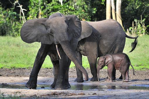 Let's Protect Elephants, Not Make It Easier to Kill Them: 11 Interesting Facts About Elephants