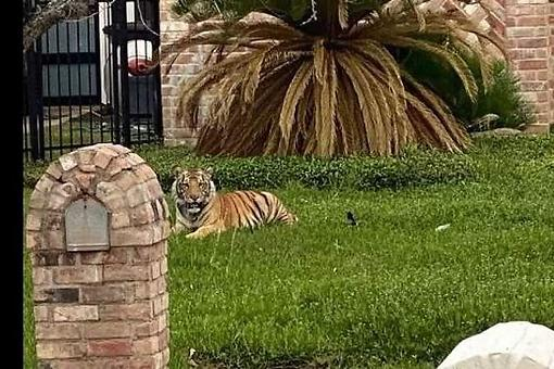 Tigers As Pets: ​Reaction to Tiger on the Loose in Houston Suburbs From Animal Wellness Action