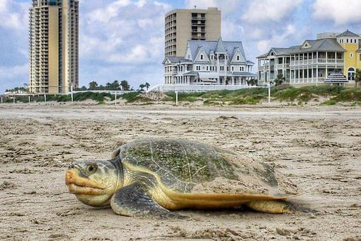 See a Sea Turtle While at the Beach in Texas? Here's What to Do!