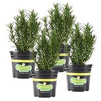 Barbecue Rosemary Plants