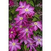 Pink Champagne Clematis Seeds